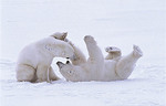 Young male Polar Bears sparing