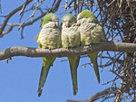 Three Monk Parakeets perched on branch