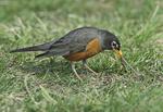 American robin pulling worm