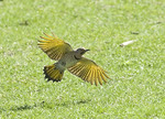Yellow-shafted Flicker in flight