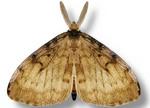 Gypsy moth, male