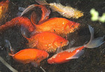 Koi fish spawning