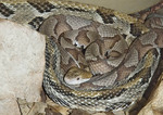 Copperhead with Timber Rattlesnake