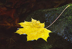 A yellow maple leaf caught on a stream bank