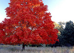 A maple tree in full red color