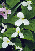 A diagonal row of large-flowered trillium