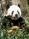 Giant Panda eats bamboo at the National Zoo