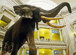 The huge elephant fills the lobby of the Smithsonian's National Museum of Natural History