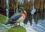 Wood duck adult bird in breeding plumage.