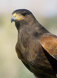 Adult Harris Hawk bird scans the horizon for prey.