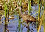 Wild adult limpkin bird stalks prey in wetlands.
