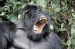angry mountian Gorilla roaring and showing teeth