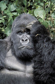 Mountain gorilla looking confused