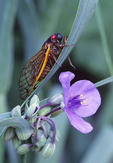 A 17-year cicada rests on the leaf over a spiderwort blossom