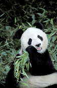 Captive Giant Panda eating bamboo.