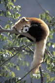 Captive Red Panda laying in tree.