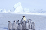 Emperor penguin with many young.