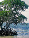 Mangrove trees grow in Gulf of Mexico waters at Emerson Point Preserve