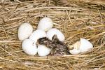 Immature Northern Bobwhite just hatching.