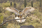 Adult captive Ferruginous Hawk landing on branch.