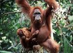 Orangutan with young in Sumatra