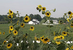 Garden of sunflowers near a farmhouse.