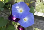 Purple morning glory vine growing around fence