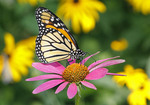 Monarch Butterfly on Purple Coneflower.