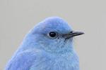 Close-up of a mountain bluebird.