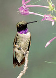 Adult male Black-chinned Hummingbird perched on branch with pink flowers.