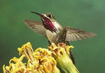 Adult male Calliope Hummingbird on yellow flower.