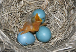 Baby American Robin in a nest of eggs.
