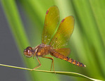 Eastern Amberwing dragonfly resting on a blade of grass.