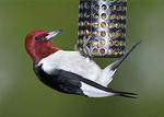 Red-headed Woodpecker on bird feeder.