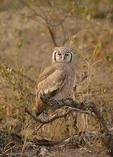 Giant eagle owl perches at dusk in Savuti N.P., Botswana