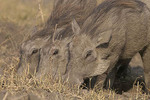 young warthogs feeding in Chobe National Park, Botswana
