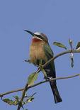 bee-eater perches on a branch hunting insects.