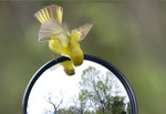 Yellow Warbler looking at itself in the side mirror of a car.