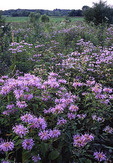 A large patch of wild bergamot in an open prairie