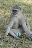 male vervet monkey relaxes near Chobe Lodge