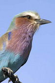 lilac breasted roller, the national bird of Botswana, perched on a branch