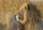 Male lion surveys the pride