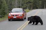 Black bear passing a car in park