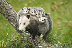 Virginia Opossum adult female with young.