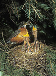 American robin feeding young at nest