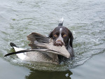 A German Wired Haired Pointer retrieves a Canadian Goose.