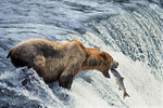Brown bear catching salmon at Brooks Falls in Katmai National Park, Alaska.