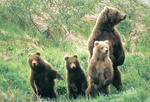 A mother brown bear and three yearling cubs at Mcneil River Sanctuary, Alaska