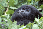 A gorilla in the forests of Rwanda.