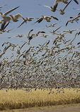 Snow Geese lifting from a corn field in late afternoon.